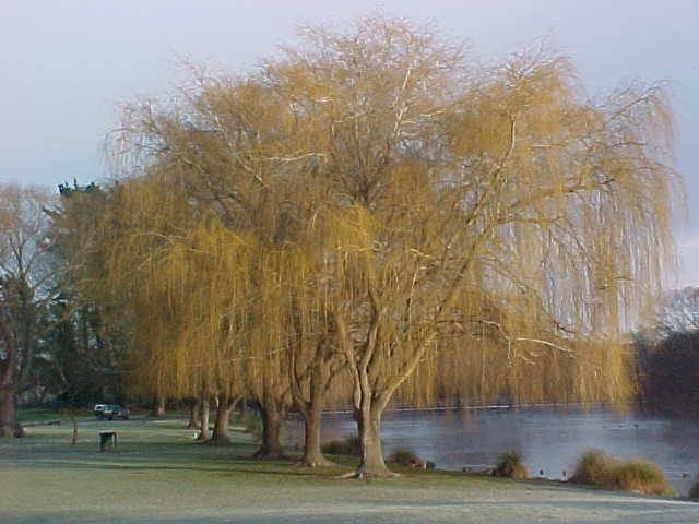 Tree willow in winter